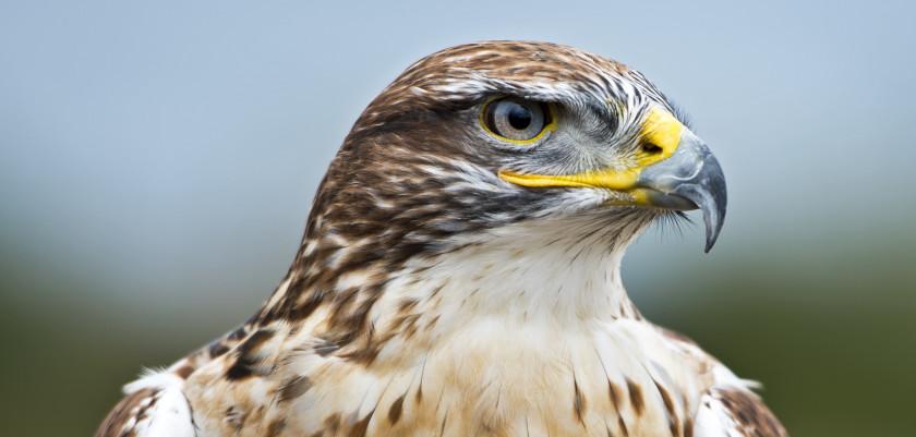 ferrugingus-hawk1