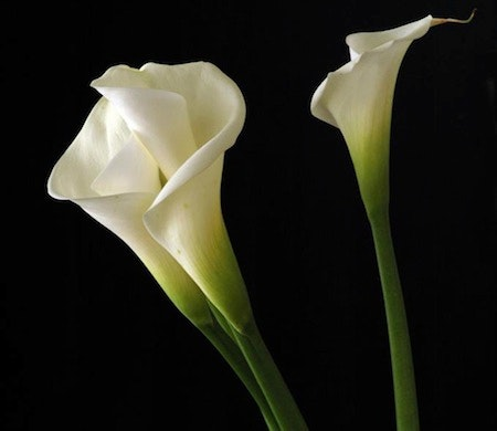 calla-lily-flower