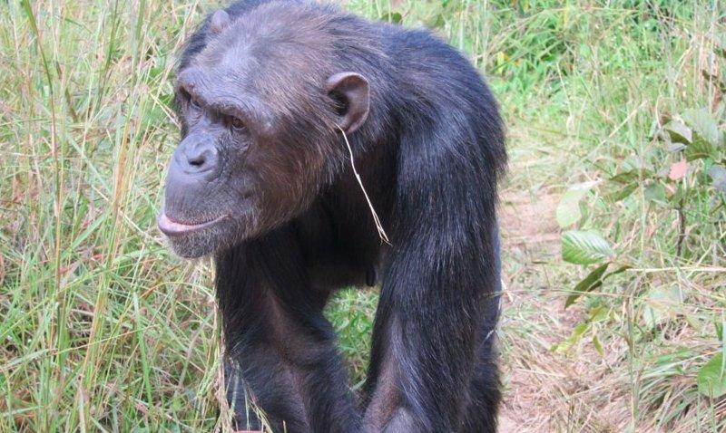 grass-in-ear-chimpanzee.jpg__800x600_q85_crop